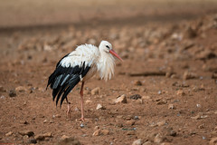 Young Stork (aminefassi) Tags: bird nature animal canon young morocco maroc 5d stork rabat cigogne ef70200mmf28 temara ciconiids aminefassi
