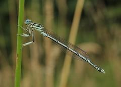 White-legged Damselfly (Platycnemis pennipes) Male (Rezamink) Tags: uk dragonflies odonata whiteleggeddamselfly platycnemispennipes