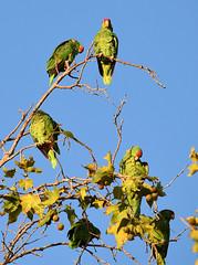 DSC_0769 (FLY2BIGBEAR) Tags: greenparrot parrot santaana orange county california city wild free green parrots redcrowned amazon amazona viridigenalis train station santa ana redcrownedamazon amazonaviridigenalis