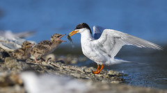 Just for you ....my dear! (Eric SF) Tags: california chicks tern feedingtime redwoodcity shorebird bestpractices forsterstern