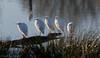 Héron garde-boeufs-Bubulcus ibis - Western Cattle Egret 9966.jpg (Zoizeaux de Gabriel) Tags: bubulcusibis domainedesoiseauxmazèresariège hérongardeboeufs oiseauxnet westerncattleegret naturethroughthelens sunrays5 ngc coth5 npc