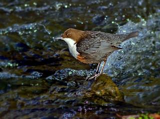 Dipper  ( Cinclus cinclus ) -  In the rapids !  ( Explored )