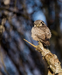 Northern Hawk Owl, Hökuggla, Surnia ulula (dunderdan77) Tags: owl uggla fågel bird nature djur nikon tamron wildlife