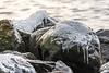 Icy rock (Henrik Axelsson) Tags: bergslagen ice istappar lake landsbygd ludvika rock sjö sten vatten vinter väsman water winter dalarnaslän sverige se