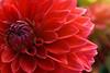Red Dahlia (phagileo) Tags: dahlia red sigma105mm 105 nikond3300 macro makro flower outdoor nature nikcollection photoshopelements capturenxd germany deutschland dahlie
