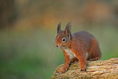 Red Squirrel (ruth spotlight) Tags: redsquirrel red squirrel nature wildlife woods fife
