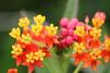 Flor de Sangre (Javier Andrade M.) Tags: rapanui easter island isla pascua rano kau