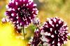 Dahlior (evisdotter) Tags: dahlia flowers blommor light colors bokeh sooc