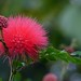This is called a Powder Puff tree (sisterchat) Tags: 7dwf macro
