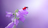 Ledybug (ElenAndreeva) Tags: red color light summer bokeh cute lovely colors insect live canon garden purple top soft dream colorful composition sweet focus bug best filter amazing nature macro flower sun campanula ledybug tones