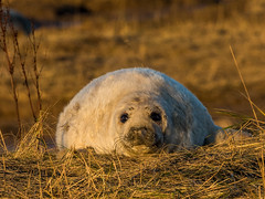 Grey Seal Pup (Paul West ( pwest.me )) Tags: grey seal pup greysealpup donnanook lincolnshire nature