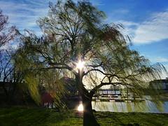Trauerweide am Bootshaus Blumenthal (soniabaumel) Tags: bootshaus blumenthal trauerweide willow weeping sonnenlicht sunlight panasonic