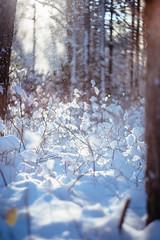 Fresh blanket (reclaimednj) Tags: tuckerton newjersey unitedstates us zenithelios44m458mmf2 bassrivertownship bassriverstateforest nj 2017 forest winter snow