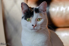 Treacle (parry101) Tags: cat cats pet pets animal animals treacle