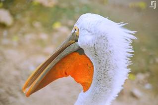 The White Pelikan