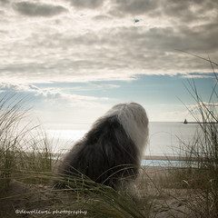 sea view (dewollewei) Tags: oldenglishsheepdogs oldenglishsheepdog sheepdog sheepdogs old english dewollewei oes bobtail ameland waddeneilanden wadden hollum waddenzee sky clouds view dogs