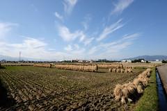稲刈りの風景 (photojiro) Tags: fujifilmx70 fujifilm fujinon wclx70 干し藁 撮って出し 晴れ 朝陽 秋 稲刈り 10月