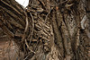 Two Studies in Texture (thefisch1) Tags: tree cottonwood bark texture wrinkled folded crevice kansas nikon 1424 lens flint hills interesting pattern random vine