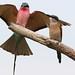 Southern carmine bee-eater, Merops nubicoides, Savuti marsh, Chobe National Park, Botswana