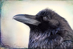 Reflections in a raven's eye (Tracey Rennie) Tags: raven reflection icefieldsparkway corvid bird alberta blueblack texture