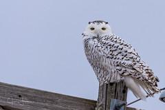 Snow Owl - 1 (jwfearn2016) Tags: snowowl michigan winter snow owl perched urban