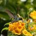 Beija-flor-do-papo verde, beija-flor-de-garganta-verde (Amazilia fimbriata) - glittering-throstedC. - 19-02-2006 - 2 290 - 7