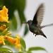 Beija-flor-do-papo verde (Amazilia fimbriata) - 15-02-2006 - 2 283 - 5