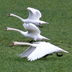 Swans (!.Keesssss.!) Tags: bird nature netherlands grass animals square outdoors photography swan day wildlife nopeople running takingoff onthemove gettyimages inarow royaltyfree threeanimals spreadwings animalthemes theflickrcollection keessmans 0016ksgetty