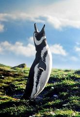 Magellanic Penguin, Patagonia (Steve Deger) Tags: chile patagonia penguin penguins linux torresdelpaine puntaarenas linuxpenguin islamagdalena straitofmagellan stevedeger