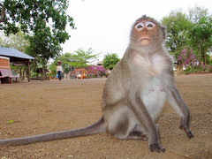 . (hn.) Tags: copyright animal animals monkey tiere cambodge cambodia heiconeumeyer kambodscha seasia soasien southeastasia südostasien khmer monkeys cham tier affen kompong affe lowangle swivel copyrighted groundview tiltablemonitor schwenkmonitor klappmonitor flipoutmonitor untersicht kompongcham articulatinglcd swivelscreen tiltingmonitor articulatingmonitor tiltinglcd swivelmonitor swivellcd articulatedlcd articulatedmonitor tiltingscreen articulatingscreen tiltablelcd tiltablescreen swivelinglcd swivelingmonitor freeanglelcd freeanglemonitor freeanglescreen