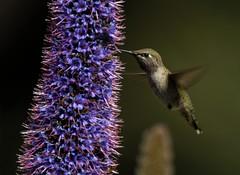 Young Anna's Hummer (iwasfixin2) Tags: california bird birds ilovenature hummingbird aves hummer avian encinitas annashummingbird quailbotanicalgardens naturelovesme