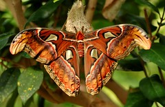 Giant Atlas Moth - by Phil