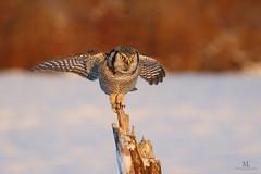 Chouette pervire - Northern hawk-owl - Surnia ulula (Maxime Legare-Vezina) Tags: bird oiseau owl nature wild wildlife animal ornithology biodiversity canon winter hiver snow neige fauna