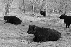 Galloway-runderen Kijfhoek (boukje2006) Tags: gallowayrunderen kijfhoek