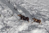 Moose (robertdownie) Tags: canada aerial snow running bc british columbia moose pg prince george alces