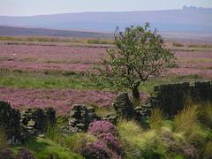 Hallam Moors (Roger B.) Tags: heather peakdistrict moor darkpeak peakdistrictnationalpark moorland redmires calluna callunavulgaris hallammoors