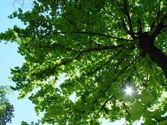 Arbol de sombra (Gisa) Tags: tree lafotodelasemana 1 lfscontraluces lfsarboles gisa