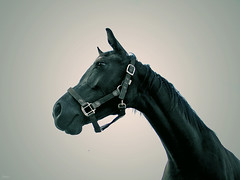 Hengst (sole) Tags: horses horse black holland nature beautiful animal animals rural mammal caballo caballos fantastic village farm mammals pferd tinted stallion drenthe emmen paard rurallife megashot