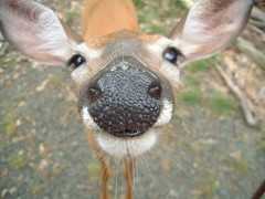 Deer4 (Torrie) Tags: animal forest nose cool top20animalpix perfect deer poconos wildanimals animalkingdomelite abigfave