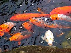 Different (shutterBRI) Tags: 2005 travel fish japan canon photography tokyo japanesegarden photo pond powershot koi a80 shutterbri brianutesch flickrchallengegroup photofaceoffwinner pfogold brianuteschphotography