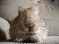 Big nosed Pip (Sjaek) Tags: rabbit bunny konijn sweet cute closeup fluffy sofa nose hair whisker pip pet pets