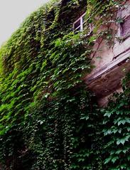 Weinbewachsenes altes Haus (happycat) Tags: house flower green germany j thringen leaf haus vine jena grn blume blatt wein parthenocissus wilderwein jenaziegenhain jungfernrebe