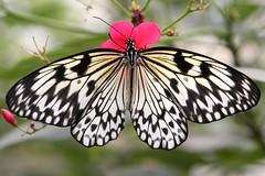 ;-) (Blackwings) Tags: butterfly creature animal fauna nature ilovenature 15fav photowalk 110fav 510fav 1025fav bestviewedlarge topv111 topc50 wonder wow canon eos 350d topv333 youcanaddthistothehalloffameofthe1025favpoolnowifyouwant