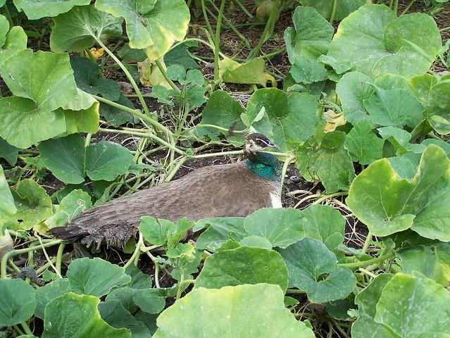Hidden peahen