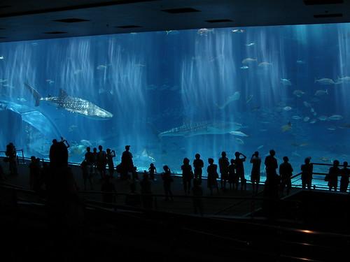 Tiburón Ballena y manta raya gigante