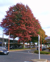 Red Leaves (EssjayNZ) Tags: 2005 autumn red newzealand 15fav tree fall leaves topv111 topv333 topv777 essjaynz tokoroa southwaikato taken2005 800v sarahmacmillan