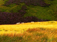 Natural fibres, colourful fabrics... (Ray Byrne) Tags: sunlight white green wool grass yellow evening purple sheep heather northumberland thecheviots cheviothills raybyrne byrneout byrneoutcouk webnorthcouk