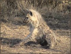 Hyena ~ 15 (Silent Sensei) Tags: africa southafrica ngala kruger hyena den animals safari favorite