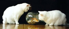 Cats with Goldfish (Bobasonic) Tags: food cats fish cute cat magazine print top20animalpix published goldfish lovely1 bowl marys greatshot lovely printed canonixusaps catsandgoldfish beautifulcomposition absolutelylovethisshot