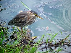 773 Green Heron on a Rock (Pixel Packing Mama) Tags: bird nature birds naturallight naturalight allanimals luckylegs greenheron oregonwildlife goodpicturesnobodyviews smallheron pixelpackingmama dorothydelinaporter birdfanatics uploadedtoflickr2005set pixelpackingmama~prayforkyronhorman oversixmillionaggregateviews over430000photostreamviews